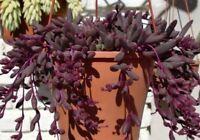 Senecio Othonna Capensis/ Ruby Necklace x3 Cuttings - Rare Plant - FREE POSTAGE