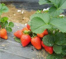 Erdbeer Samen, Red Pearl, sehr schmackhafte und gehaltevolle Erdbeere, 50 Samen