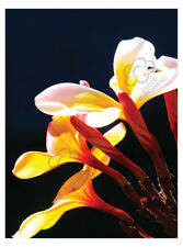 Greeting card Frangipani white flowers and buds by Cloud Publishing