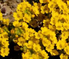 ALYSSUM MOUNTAIN GOLD PERENNIAL Alyssum Montanum - 100 Seeds