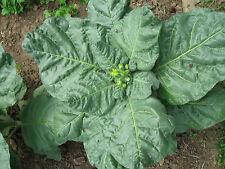 1000 seeds Shamanic tobacco, Mapacho, Makhorka, N. rustica