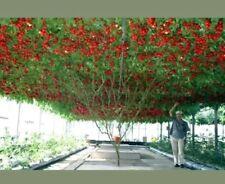 50 Semi Di Pomodoro Gigante (Tomato Giant Tree)