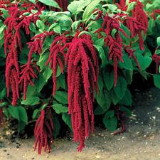 Amaranth Seeds - LOVE-LIES-BLEEDING - Red - Vintage Heirloom Variety - 50 Seeds