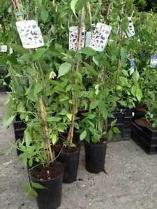 1 Clematis Montana Rubens - Climbing Plant - 2-3ft in 2L Pot