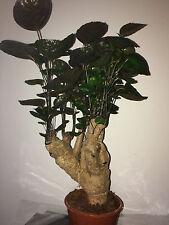 Polyscias 'Fabian' Houseplant. Geranium Aralia. 45cm approx.