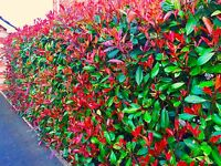 10 Photinia Red Robin Hedging Plants 25-40cm,Big pots, Healthy evergreen shrubs