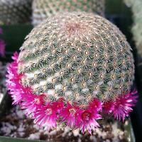 Mammillaria huitzilopohctli Cactus Cacti Succulent Real Live Plant