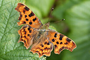 Comma Butterfly nature insect macro Art Photograph, Mounted Print, Cards