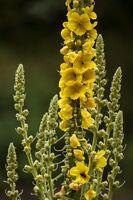 ** Zum typischen Bauerngarten-Pflanzen gehört die große, gelbe Königskerze !