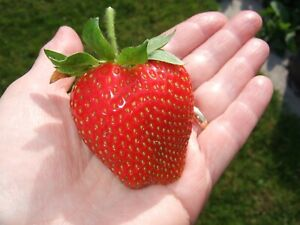 100 Giant Strawberry Seeds - Sweet And Delicious - Large Garden Fruit Plant