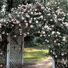 50Pcs Heirloom Big Blooming White Pink Turban Like Climbing Rose Fragrant Flower