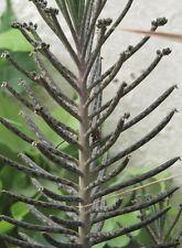 Kalanchoe Bryophyllum, Mother of Millions Succulent House Plant, 6 cm tall plant