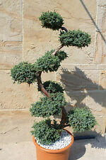 Juniperus squa. ´Blue Carpet´Wacholder-Bonsai, S-Formgehölz - Gartenbonsai 160cm
