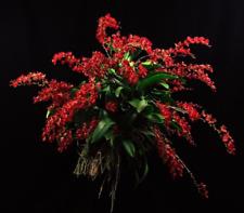 "Leomesezia Lava Burst 'Puanani' AM/AOS   Miniature Orchid Plant,  2.5"" Pot"