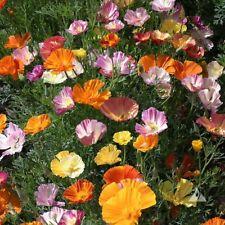 Buy Borage Flower Seeds Plant Borago Officinalis Flower Garden
