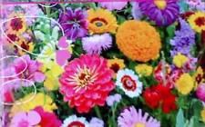graines fleurs pour attirer les coccinelles