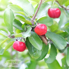 Barbados Cherry Malpighia glabra Live Fruit Plant Acerola Wild Crapemyrtle