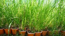 Reedbed grass for sewage treatment. 5X Vetiver grass plants