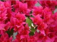 Bougainvillea - Double Red - Well Rooted Starter