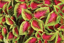 50 semi pellettati Justseed-Fiore-Coleus-KONG IMPERO MIX