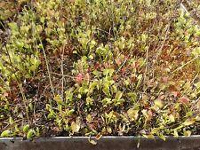 Superfresh Carnivorous plant Dionaea muscipula, Venus Fly Trap, 500 seeds 2017