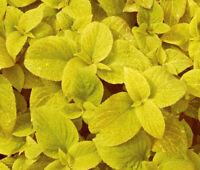 Coleus Seed: Wizard Golden Coleus Seeds 40 Seeds  Fresh Seed  FREE Ship