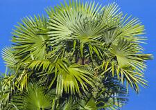 TRACHYCARPUS FORTUNEI PALM TREE, 101 SEEDS, HARDY FAN PALM ZONE 6-11 EZ TO GROW