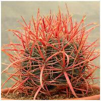 10 Samen der Ferocactus coloratus,Sukkulenten,seeds succulents G
