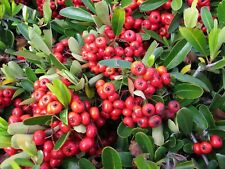 Scarlet Firethorn   Pyracantha coccinea   Organic   10 Seeds  (Free US Shipping)