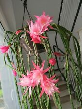 Aporocactus-Hybride 'Helmi Paetz', Schößling