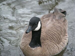 Canada Goose Taxidermy / Decoy Carving Reference Photo Cd
