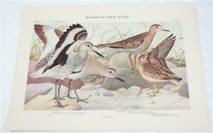 Vintage Print Book Plate No 38 Willet from Birds of New York by Louis A Fuertes