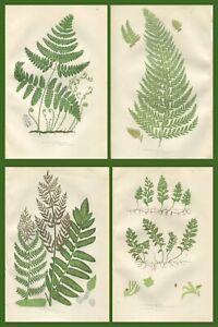 Lot of 4 Original Antique Victorian PRATT Fern Prints Botanical c1870 - Lot 29