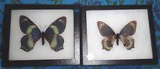 TOP RARITY Framed Papilio toboroi Pair Papua New Guinea Swallowtail Butterflies