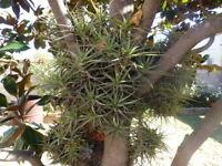 plantes aériennes ,3ramifications  +supplements verveine+laurier
