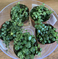 String Of Turtles Plant  (Priority Shipping)