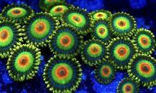 Rasta Zoanthids frag  Polyp,Palythoa Paly, Zoa Coral Colony
