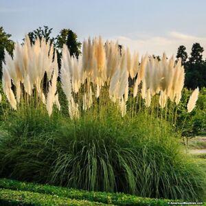 100 Pampas Grass Seeds Ornamental Flowering Grasses Perennial Large Blooms