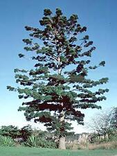 Hoop Pine (Araucaria cunninghamii) - 15 Fresh Seeds Harvesting now