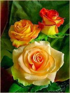 10pc Greek Beautiful Rose Plant Fragrant Seeds USA seller