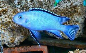 "5 Socolofi cichlid (Pseudotropheus Socolofi) 1.25""-1.75"" !!!FREE SHIPPING!!!"