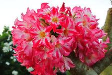 Adenium Obesum Desert Rose - CX Pumsawai - Perennial Bonsai Seeds (5)