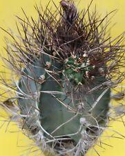 Astrophytum CAPRICORNE Senile MOTHER OLD OWN ROOTS aztekium ariocarpus copiapoa