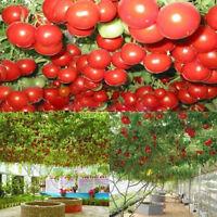 PRO RIESEN-TOMATE * BAUM-TOMATE * 10 Korn * frische Tomatensamen * Rarität E5Z9