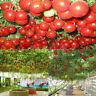 RIESEN-TOMATE * BAUM-TOMATE * 10 Korn * frische Tomatensamen * Rarität *Neu D1Y0
