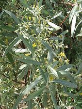 Ölweide russische Olive  20 Samen  Elaeagnus Angustifolia