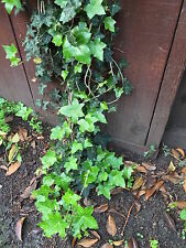 Organic Live California English Ivy Cuttings