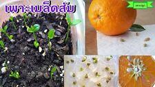10 seeds Mandarin orange Citrus reticulata Blanco germinated with seeds in seaso