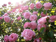 100Pcs Climbing Pink Rose Seeds Rosa Multiflora Perennial Fragrant Flower BT42