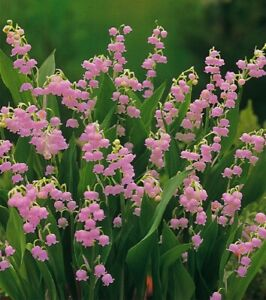 12 Plants Bare Root Pink Lily Of The Valley Convallaria Rosea 1 Day Shipping